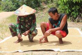 Satgas TMMD bantu warga jemur padi