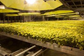 BAT produksi vaksin COVID-19 dari tanaman tembakau mulai Juni