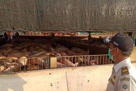 Ekspor babi Kepri ke Singapura meningkat di tengah wabah corona