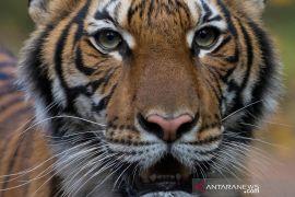 Seekor harimau di Kebun Binatang Bronx di New York City positif corona
