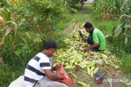 Penuhi kebutuhan pangan, Polbangtan Medan panen jagung manis