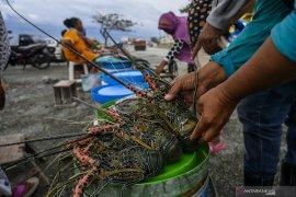 KKP: Lebih untung budi daya lobster dibanding ekspor benih