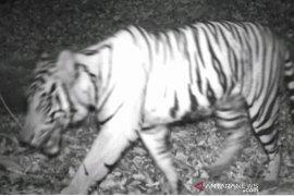 Tim survei berhasil pastikan Harimau Sumatera di Angkola Selatan