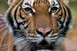 Dokter hewan IPB: Perlu riset mendalam terkait harimau positif corona