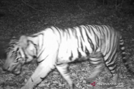 KLHK berupaya lindungi harimau sumatera di Angkola Selatan