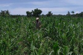 Distan Mukomuko identifikasi tanaman jagung terserang penyakit