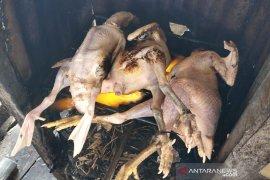 Ini penyebab tingginya permintaan ayam di Aceh Timur
