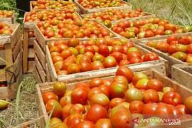 Harga tomat di Bener Meriah anjlok sampai Rp800 per kilogram