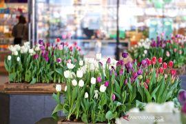 Alasan Jepang potong 100.000 lebih bunga tulip