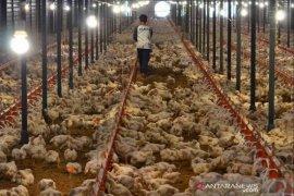 Dekati Ramadhan harga ayam ditingkat peternak masih rendah