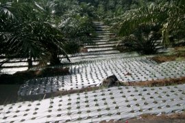 Distan Mukomuko: Program peremajaan kelapa sawit tetap berjalan