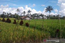 Pemkab Rejang Lebong siapkan 1.000 hektare lahan cadangan pangan
