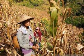 Perempuan desa di Sulteng mempunyai kemampuan olah lahan sekitar hutan