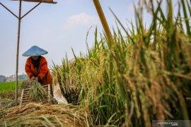 Pemerintah perlu waspadai dampak iklim terhadap stok beras