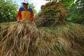 Persediaan beras di Kota Serang cukup untuk tiga bulan
