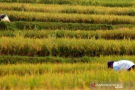 Target luas panen padi di Purwakarta hingga April capai 5.100 hektare