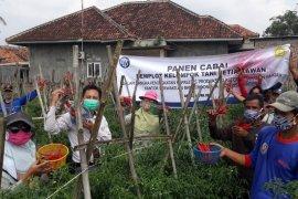 "Poktan ""Setia Kawan"" Binaan BI Banten Panen Cabai di Tengah Pandemi COVID-19"