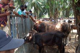 Penjualan hewan ternak jelang Ramadhan di Tamiang turun imbas COVID-19