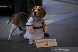 Peneliti Inggris uji kemampuan anjing untuk deteksi corona