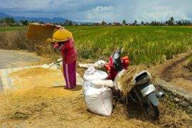 Kendati banjir dan kekhawatiran COVID-19, Penyuluh tetap dampingi petani panen padi