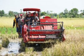 Surplus rice production predicted in South Kalimantan