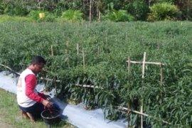 Sinergitas penyuluh dan petani Tanjabtim jaga ketahanan cabai merah