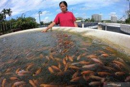 KKP telah salurkan bantuan 53,1 juta benih ikan