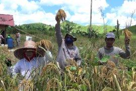 Petani di delapan kecamatan Kabupaten Banjar panen padi gogo