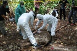 Seekor anak gajah  ditemukan mati di Aceh Jaya