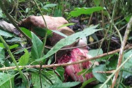 Sapi milik warga Lau Damak Bahorok Langkat dimangsa harimau