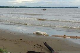 Bangkai babi berserakan di Pantai Tagaule Nias