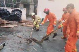 Petugas damkar evakuasi ular sanca sepanjang 3,5 meter dari balik keramik lantai