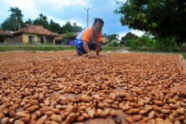 Harga Kakao berangsur naik