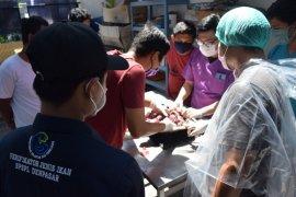 BPSPL Denpasar temukan plastik pada usus penyu hijau yang mati