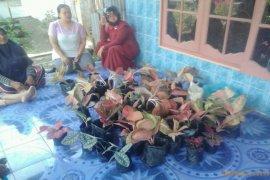 Polsek Binjai Barat amankan pencuri 50 batang bunga agloenema