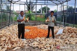 Polbangtan Medan bantu Kementan penuhi kebutuhan jagung pipil masyarakat