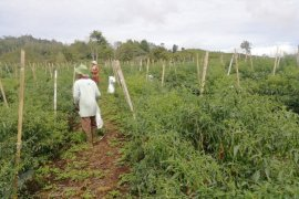 Di tegah pandemi COVID-19, panen cabai petani Siulak Kerinci berlimpah