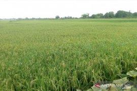 Ratusan hektare lahan persawahan Kabupaten Penajam beralih fungsi