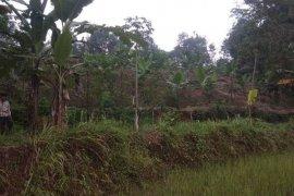 Babi hutan bergerombol merusak ladang pertanian di Lebak