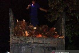 Curi kelapa sawit 6,1 ton saat warga tarawih, seorang warga Nagan Raya ditangkap polisi