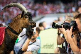 Liga Jerman - Maskot FC  Cologne tak hadir saat Bundesliga kembali digelar