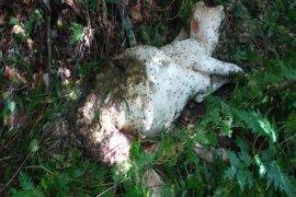 Satu lembu milik warga Batang Serangan Langkat dimangsa harimau