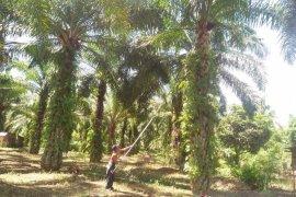 Harga sawit di Mukomuko turun Rp60/kilogram