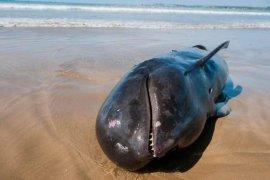 Ikan paus di Lebak mati terdampar di Pantai Cemara Binuangeun