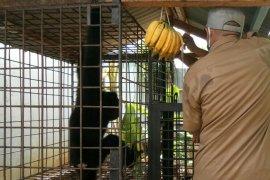 BKSDA evakuasi satu ekor owa siamang di Lhokseumawe