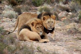Warga diminta hati-hati setelah tujuh ekor singa kabur dari taman safari