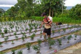 Bantu petani terdampak COVID-19, Mahasiswa Polbangtan Medan buat pupuk organik dari urine Kelinci