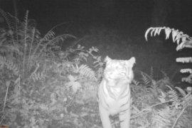 Harimau pemangsa lembu warga Batang Serangan Langkat dihalau ke hutan pakai petasan