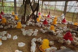 KPPU selidiki kenaikan harga ayam ras di Sumut