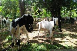 Mukomuko hentikan program pembelian kambing etawa
